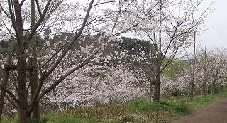 sakura2009-1.jpg